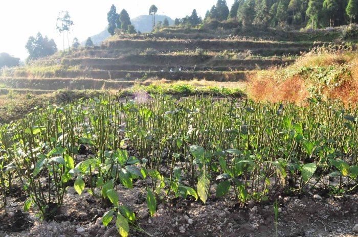 chinese indigo plant